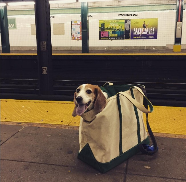 beagle_in_a_bag