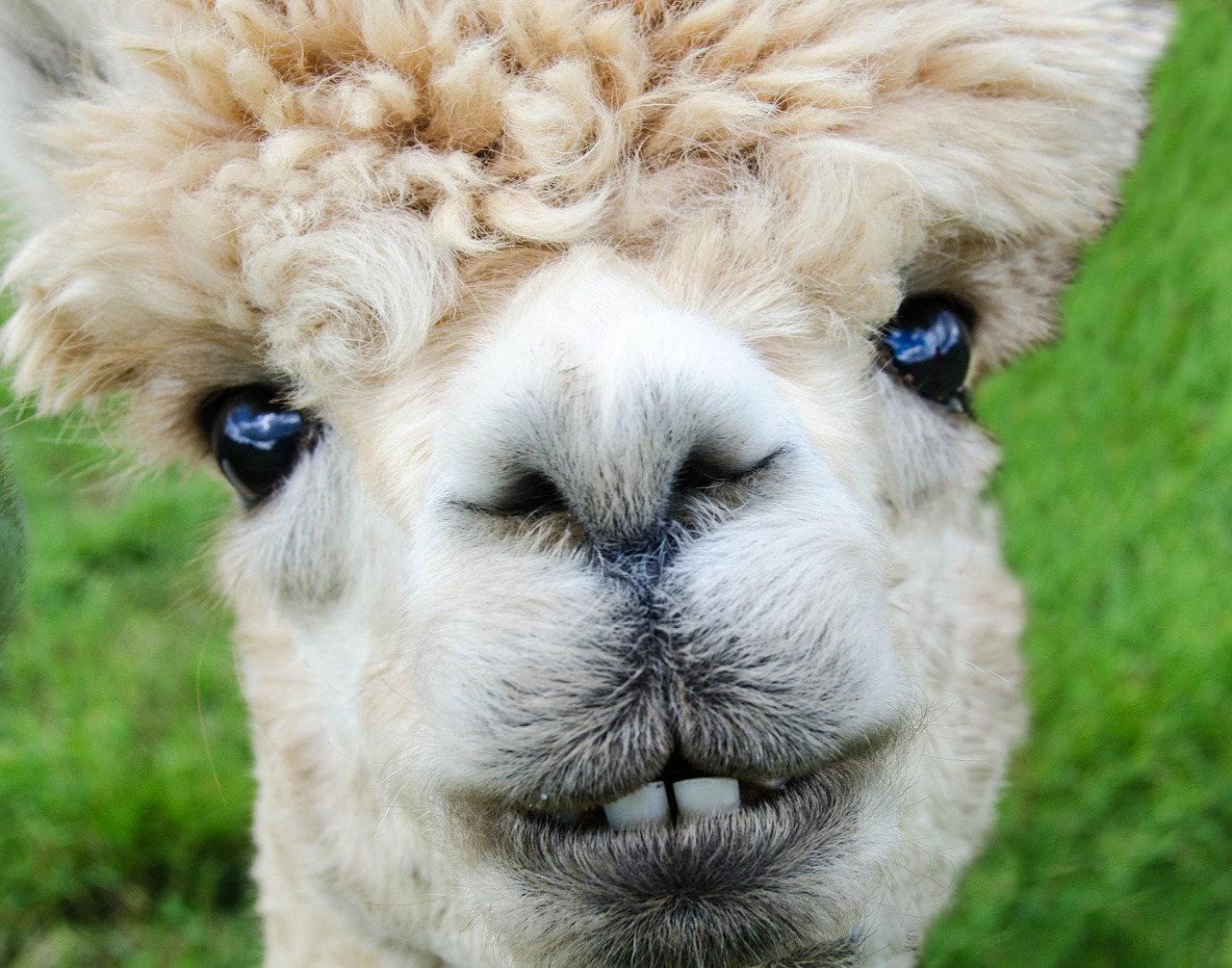 ©richgin60, CC0, alpaca.