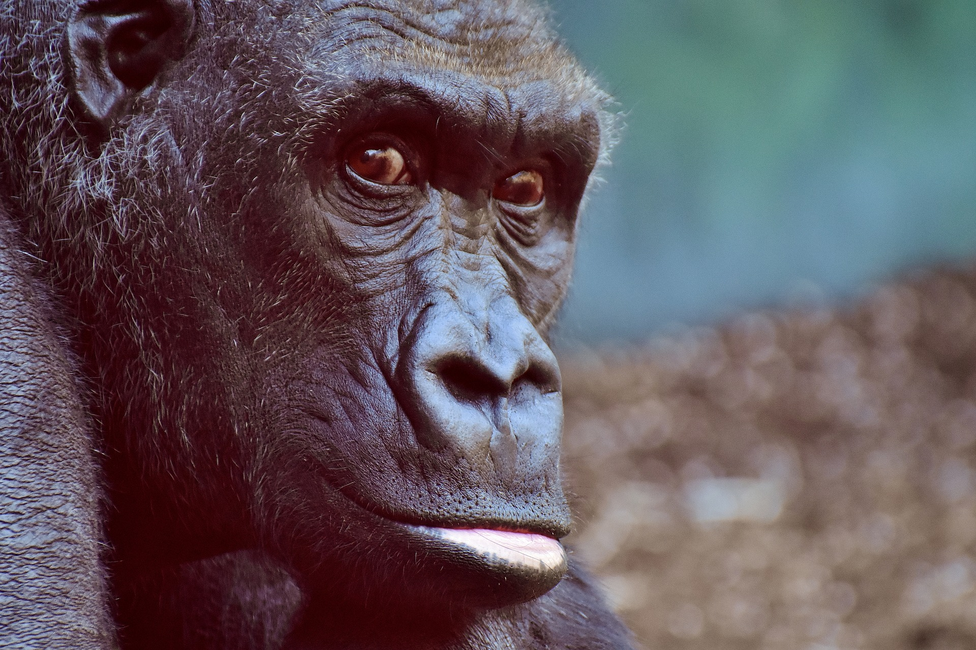 gorilla https://pixabay.com/it/gorilla-scimmia-animale-peloso-2876059/ © Alexas_Fotos CCO