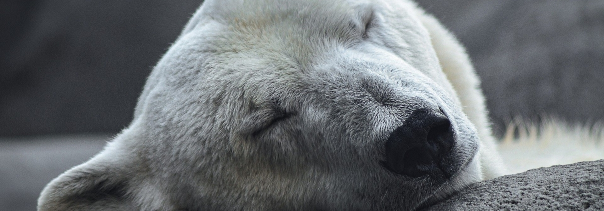 https://pixabay.com/it/photos/polar-bear-artico-predatore-4496437/