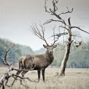 Renna, Pixabay, CC 0.0, https://www.pexels.com/photo/brown-deer-near-withered-tree-219906/